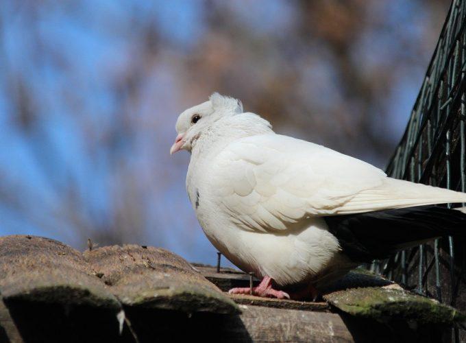 Jak na chov holubů